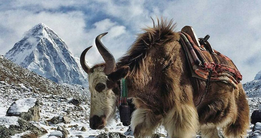 Yak on the trail to EBC